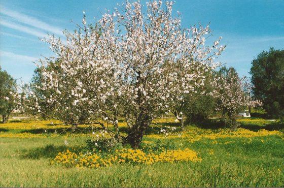 bloeiende amandelboom in klaverveld - Algarve
