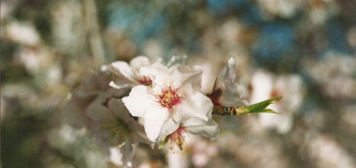 bloesem amandelboom Algarve